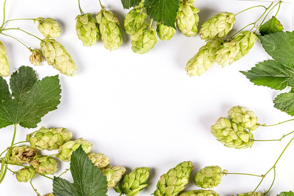 Frame of hop cone with hop leaf and twigs, top view
