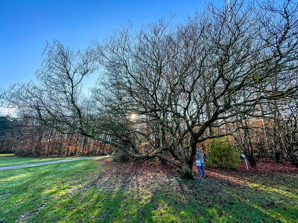 Frau unter einem großen Baum mit kahlen Ästen und viel Laub auf der Wiese am Friedenspark in Köln