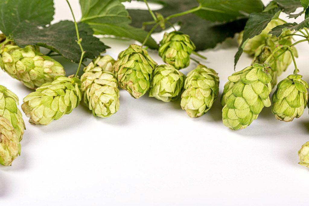 Fresh green cones of hop
