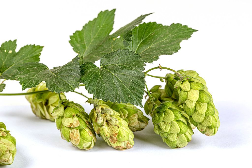 Fresh green hop cones with leaves on white