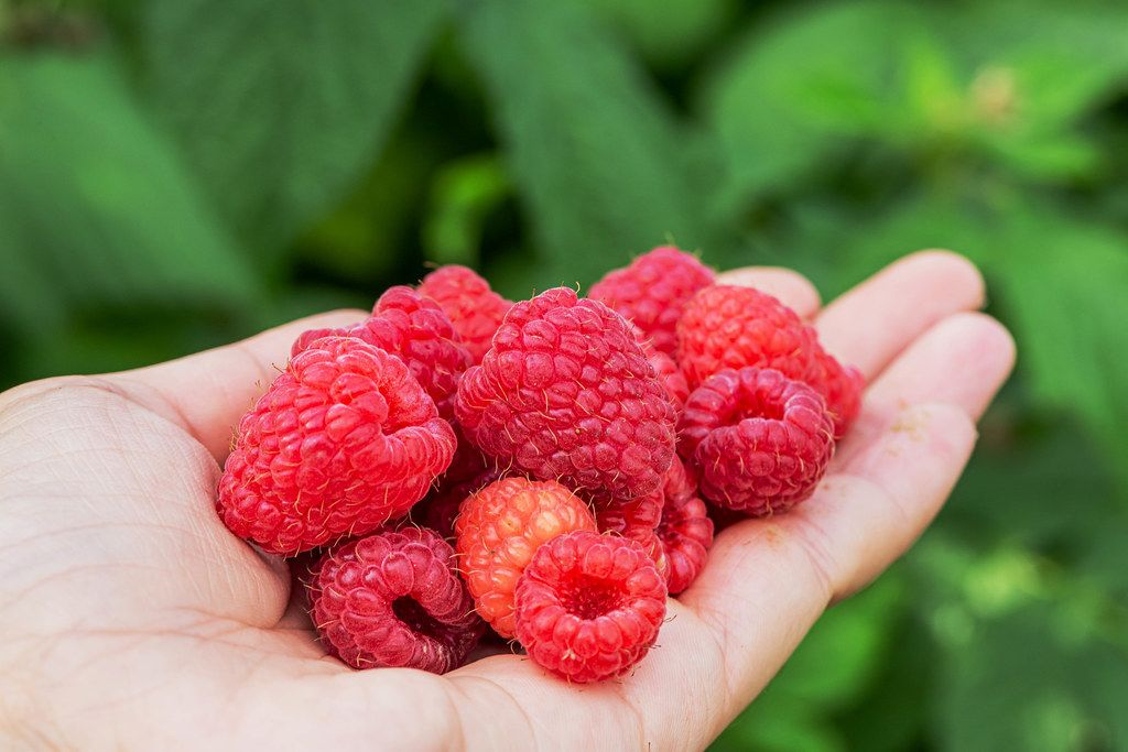 Fresh raspberries in a woman