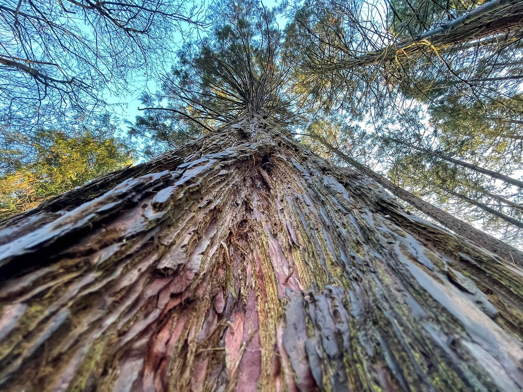 Friedenwald in Köln: Nahaufnahme eines Baumes von unten mit Detail vom Baumstamm