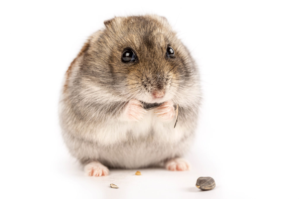 Gray hamster eating sunflower seed