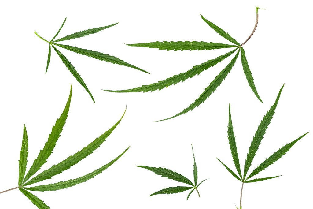 Green cannabis leaves on white background