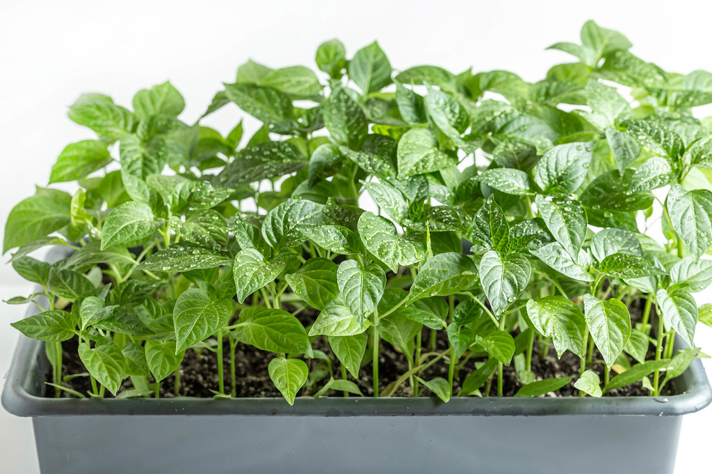 Green young sweet pepper sprouts, spring seedlings