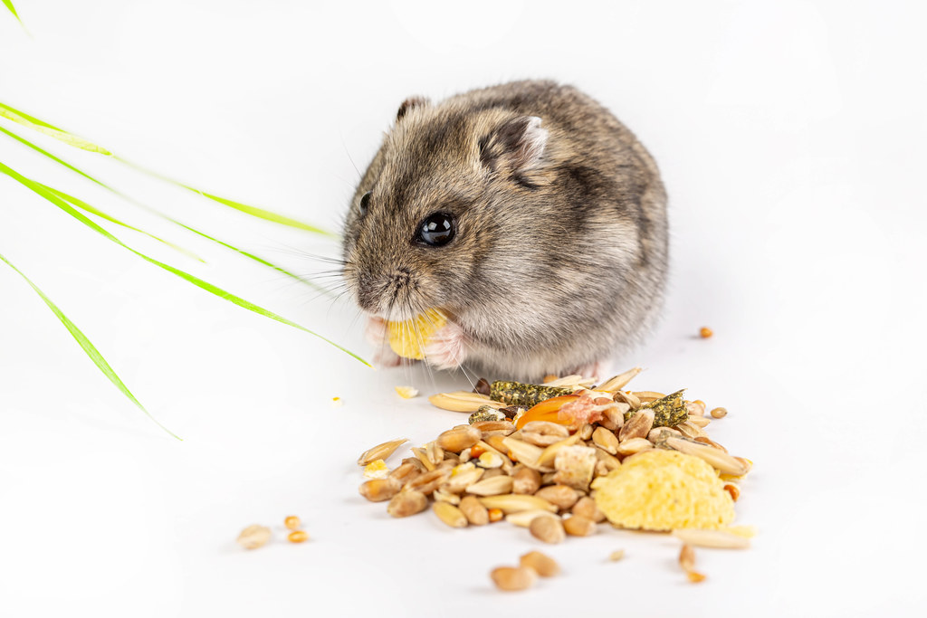 Hamster eats on a white background with food in its paws