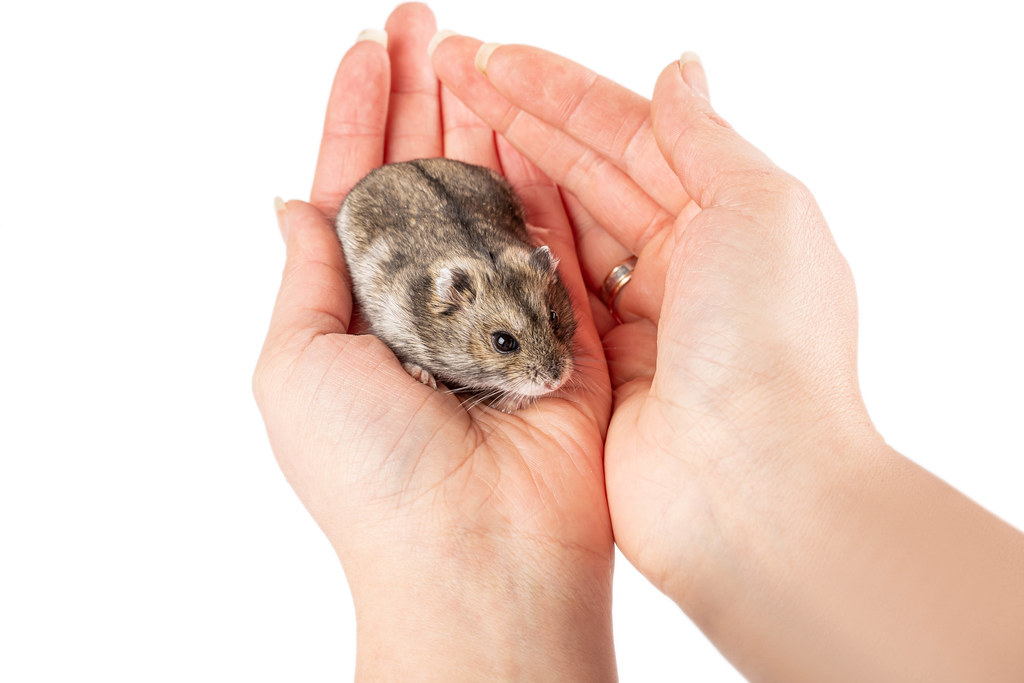 Hamster in female hands, pet care concept