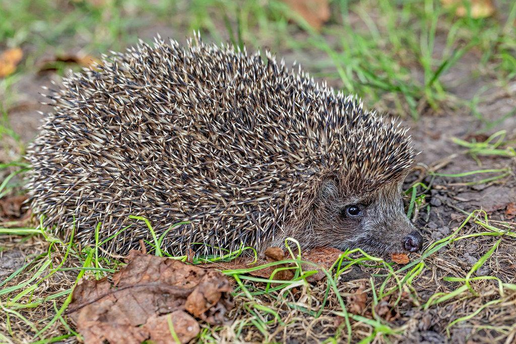 Hedgehog on autumn natural background