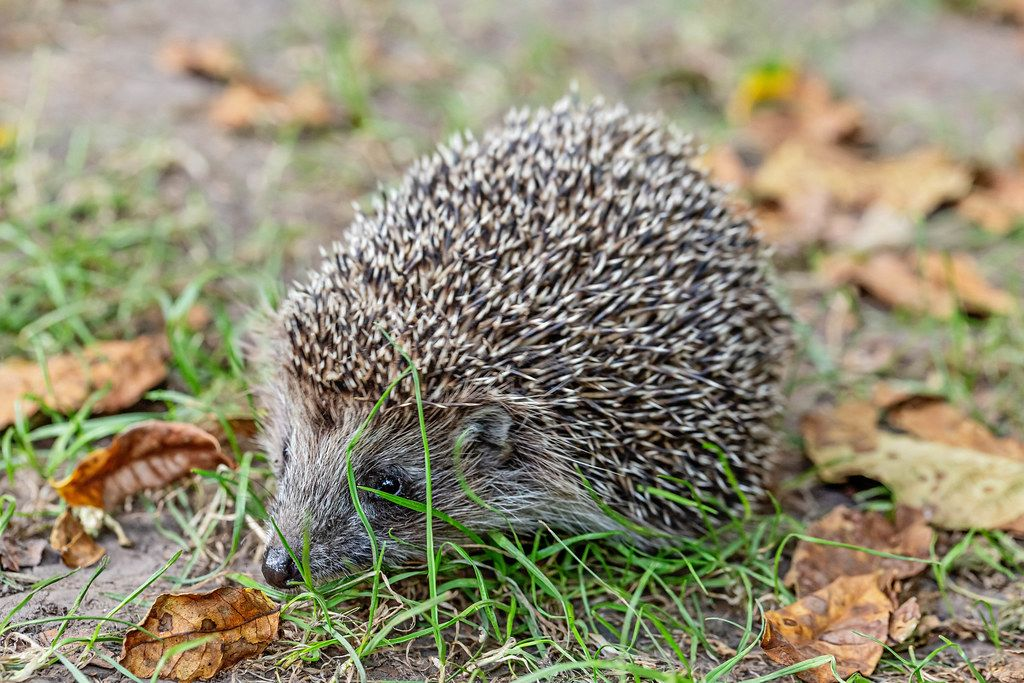Hedgehog on the grass with fallen autumn leaves