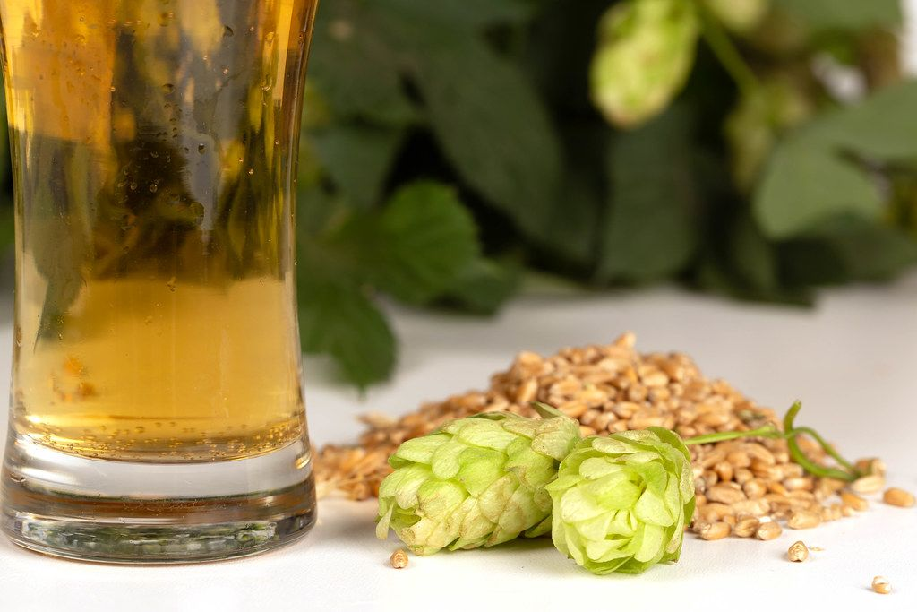 Hop cones, wheat and beer in a glass