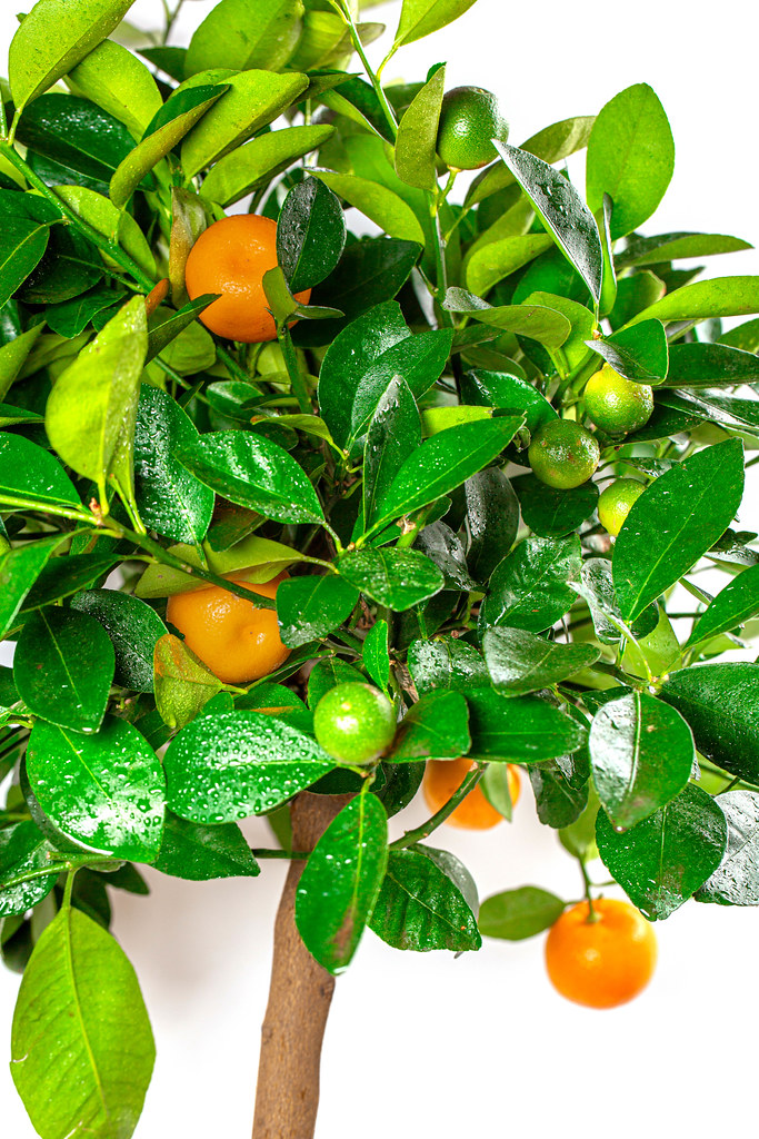 Houseplant calamondin tree with small fruits in a pot