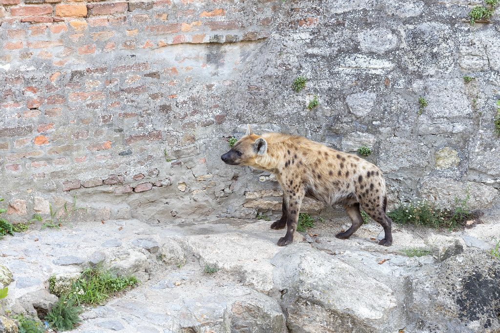 Hyena standing on the wall in the Belgrade Zoo