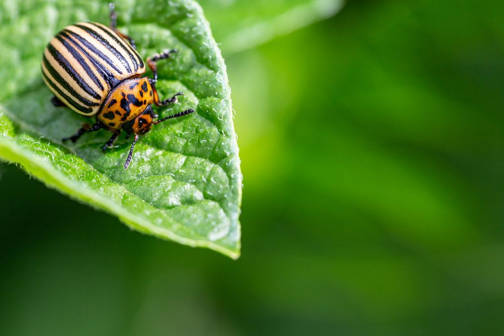 Insect pest concept - colorado beetle