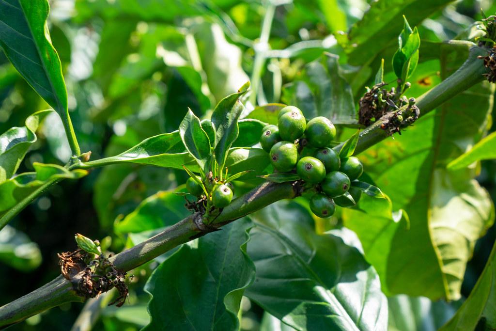 Kaffeebohnen und Blüten an einer Kaffeepflanze in einer Kaffeeplantage in Vietnam Nahafaufnahme