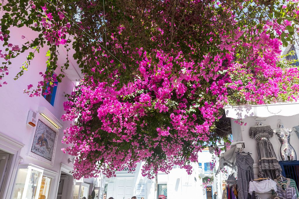 Large bougainvillea plant above our heads in the alleys of Mykonos (Greece) amongst tourist shops