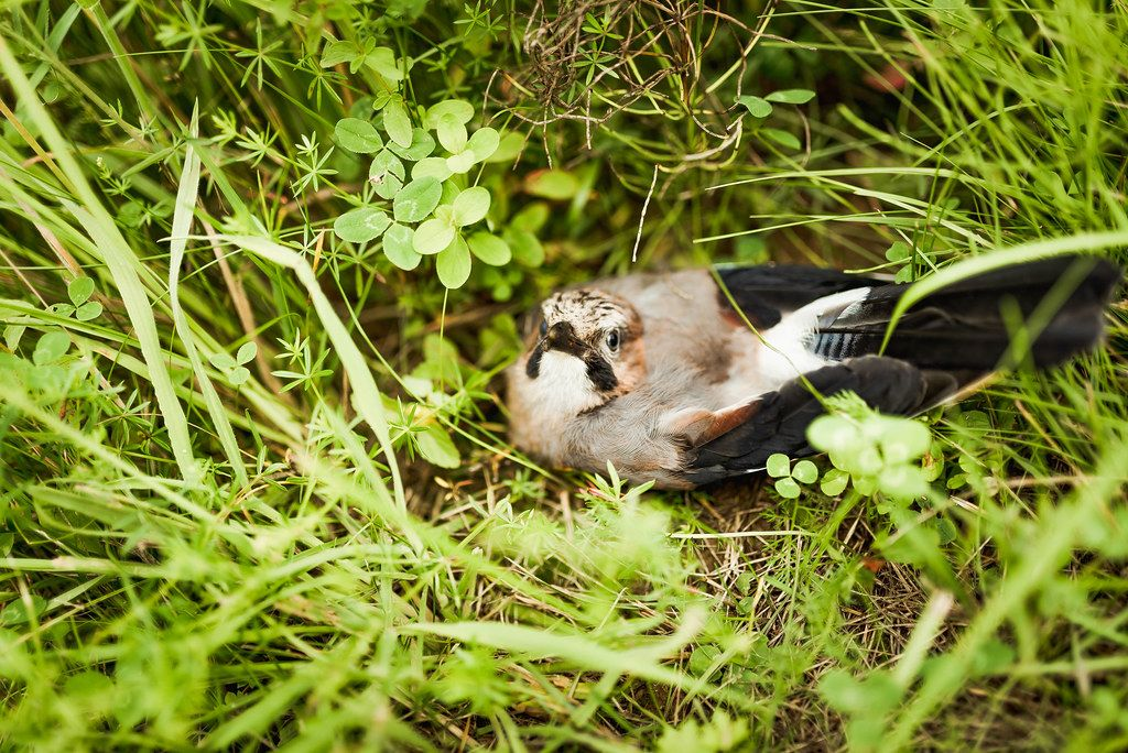 Little Eurasian Jay Sitting In The Grass