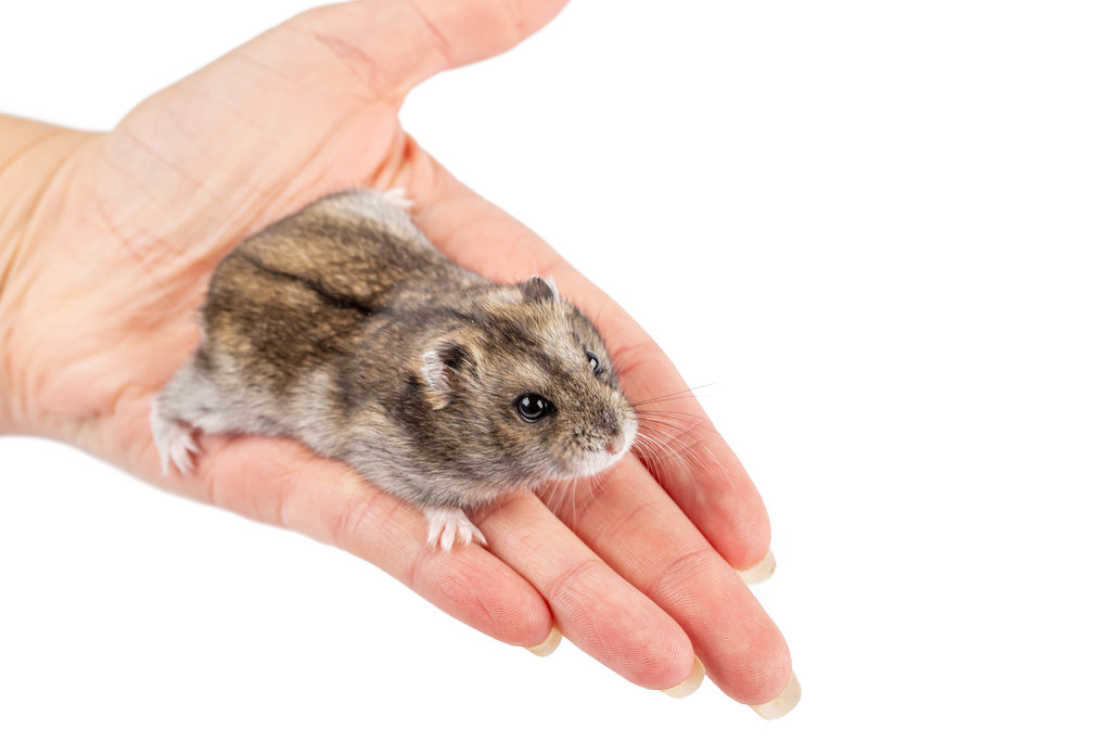 Little hamster in a female hand