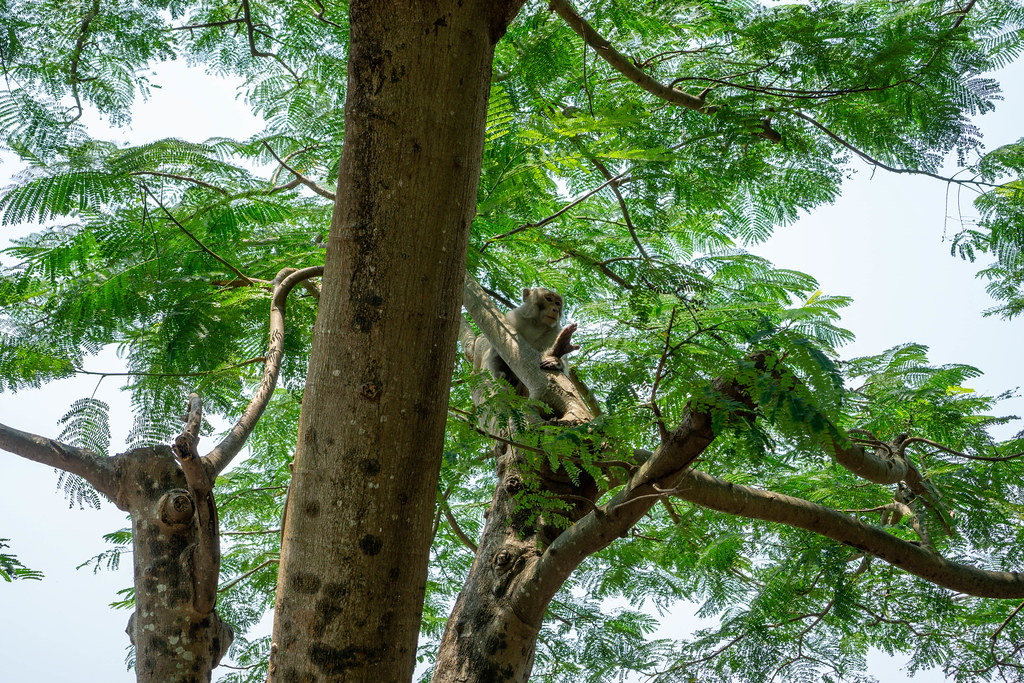 Macaque Monkey sitting on a Tree Branch in the National Park on Son Tra Island at Linh Unh Pagoda in Da Nang, Vietnam