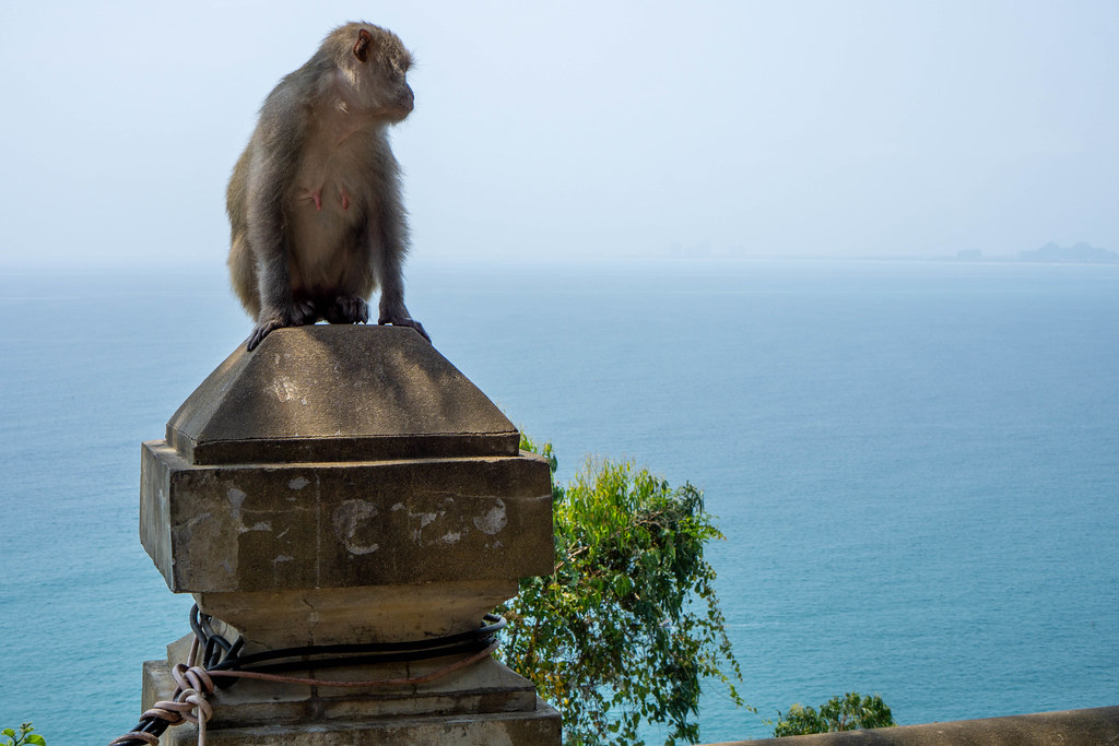 Macaque Monkey sitting on a Wall overlooking the East Vietnam Sea from Linh Ung Pagoda on Son Tra Island in Da Nang, Vietnam