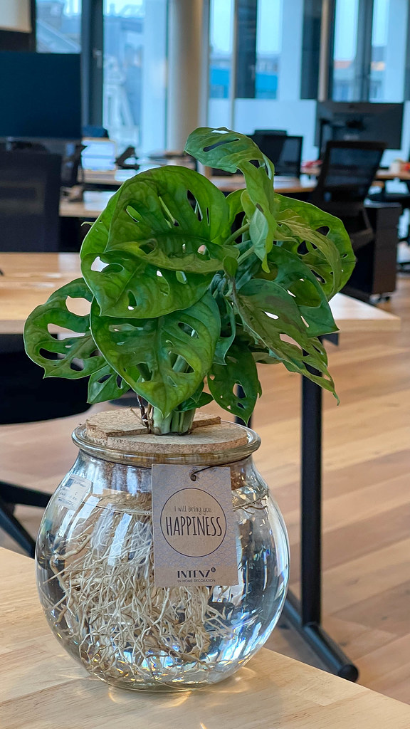 Monstera: plant with holes in its leaves on the desk in an open space office