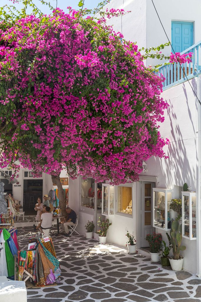 Mykonos: touristic alley with bougainvillea tree, stone paved floor, white-blue houses, tourist shops