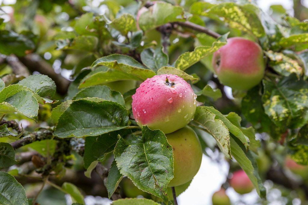 Nahaufnahme eines Apfels mit Wassertropfen und mit weiteren Äpfeln im Hintergrund