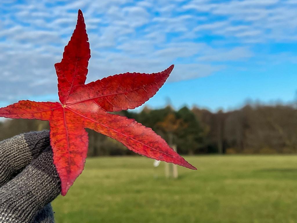 Nahaufnahme von einem roten Blatt mit fünf Spitzen in der Hand mit Schafwolken im Hintergrund