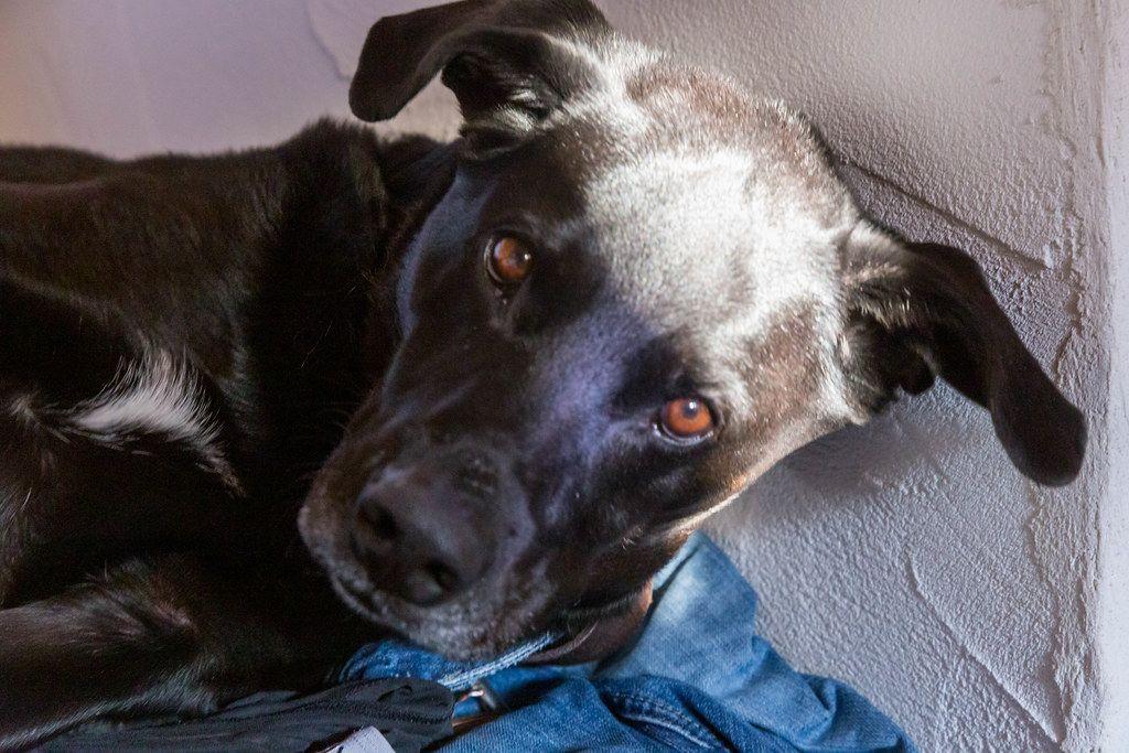 Nahaufnahme von schwarzem Hund, der direkt in die Kamera schaut, vor einer weißen Wand