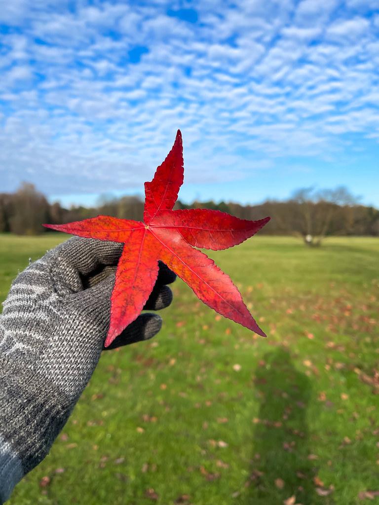 Natur im Herbst: Hand mit grauem Wollhandschuh hält ein rotes Blatt mit fünf Spitzen vor einer Wiese