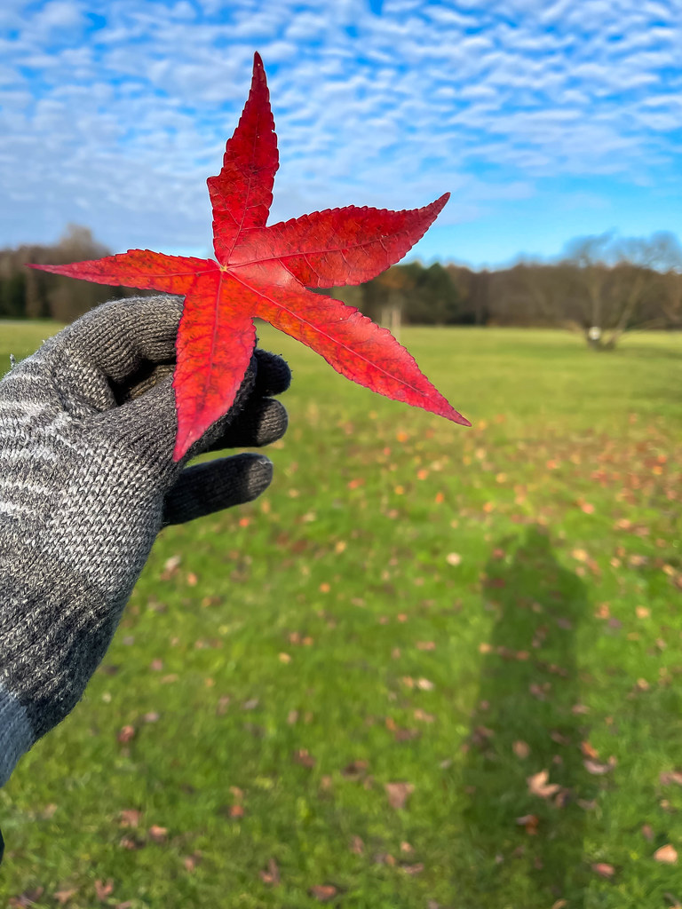 Nature in autumn: hand with grey woolen glove holds a red leaf with five tips in front of a meadow