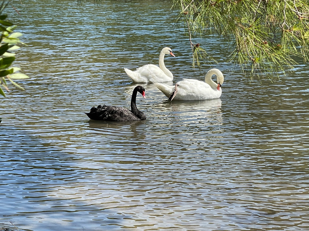 Nature in Greece: white and black swans at Koukounaries on the island of Skiathos, Thessaly