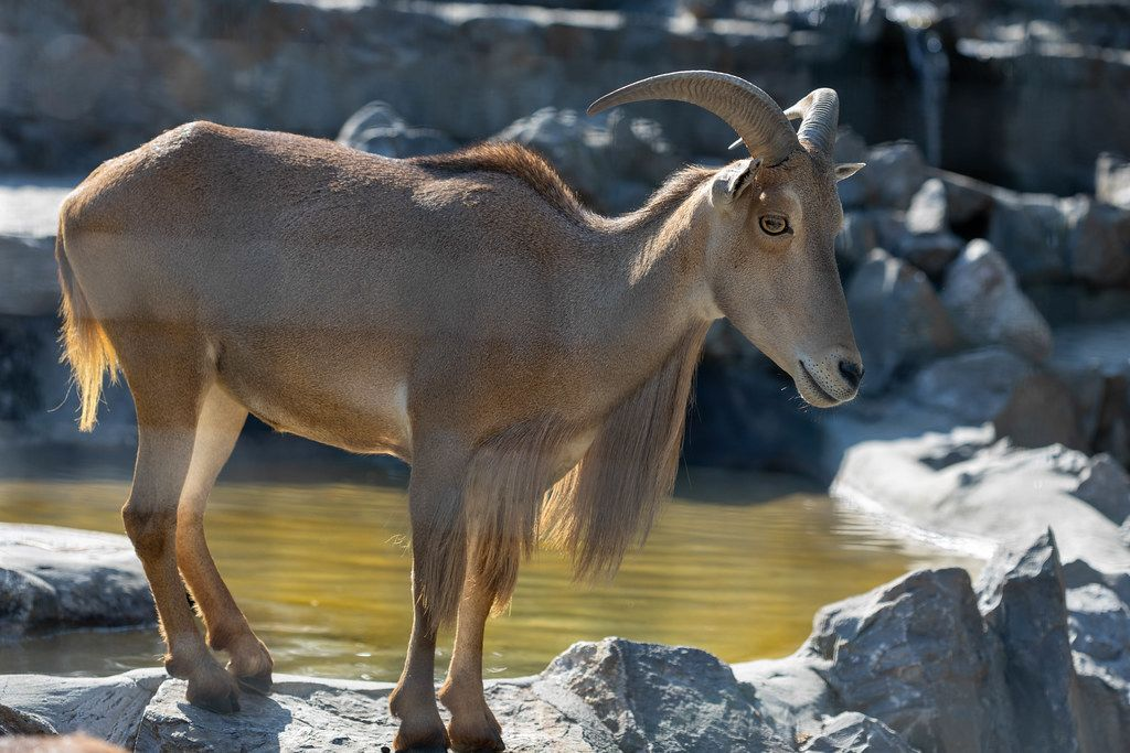 Older Brown African Goat standing on the wall in the Belgrade Zoo