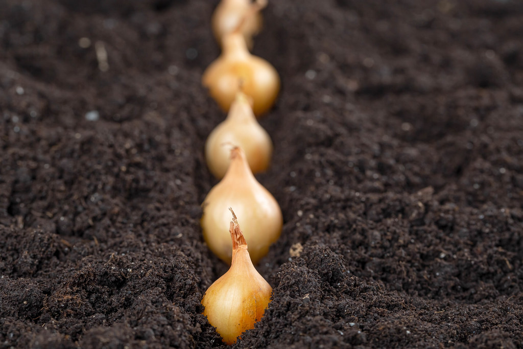 Onions are planted in a row in the soil, close up