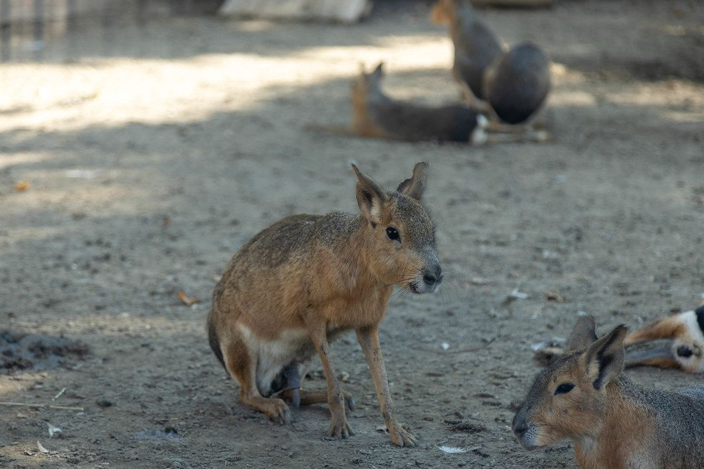 Patagonian Mara playing outside in the Belgrade Zoo