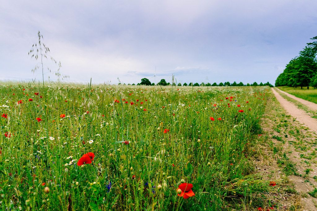 Poppy and grass field with white wind turbine in the background next to a country road