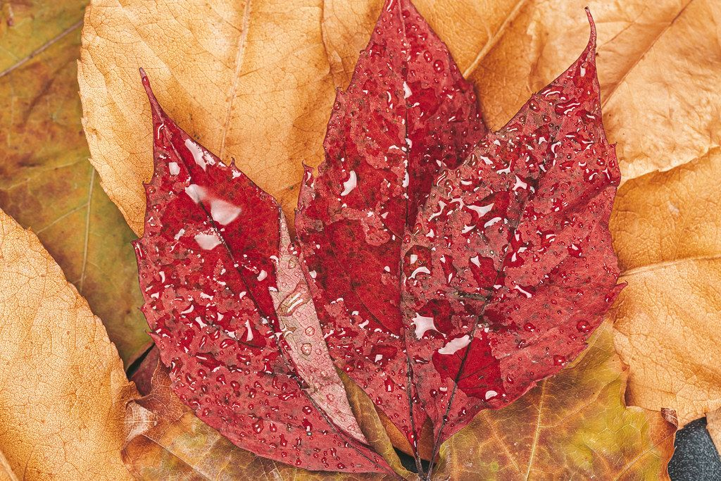 Red dry leaves with water drops. Autumn concept