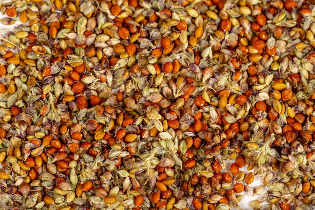 Red millet seed background