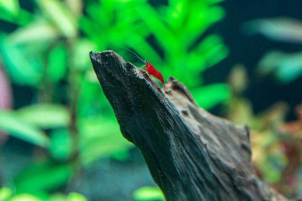 Red neocaridina shrimp in freshwater aquarium