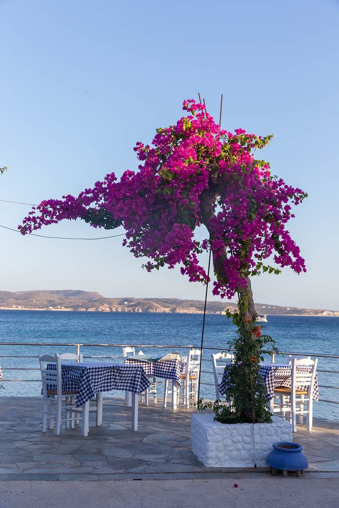 Restaurant with tables by the sea with the typical blue and white tablecloths and a bougainvillea plant