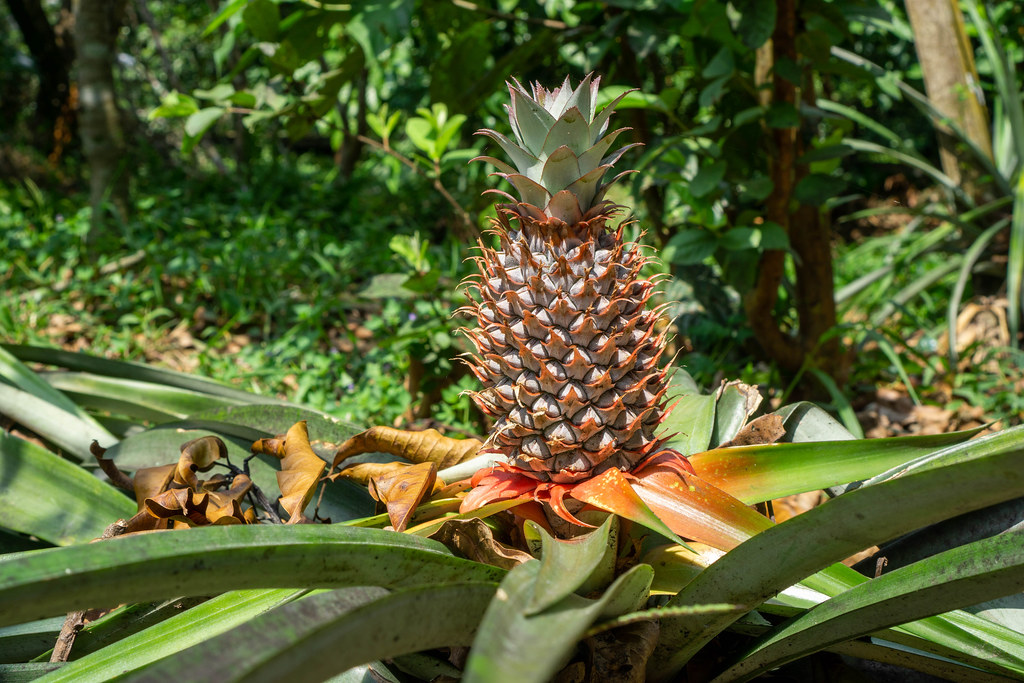 Ripe Pineapple on a Pineapple Plant ready to harvest at a Fruits Plantation in the Mekong Delta, Vietnam