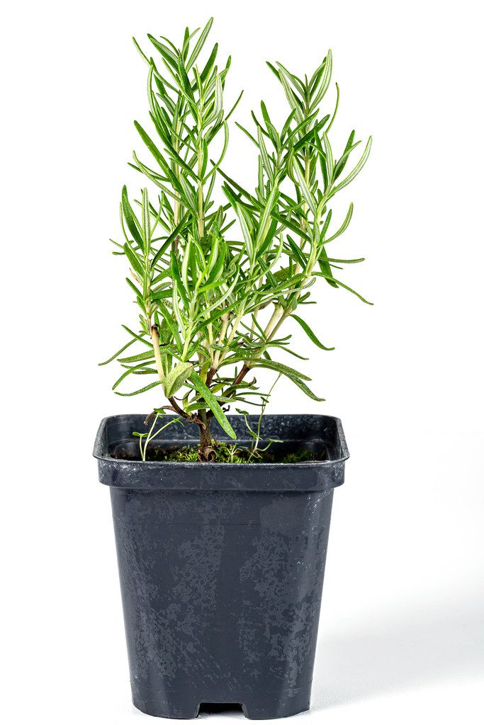 Rosemary bush in a flower pot on a white background