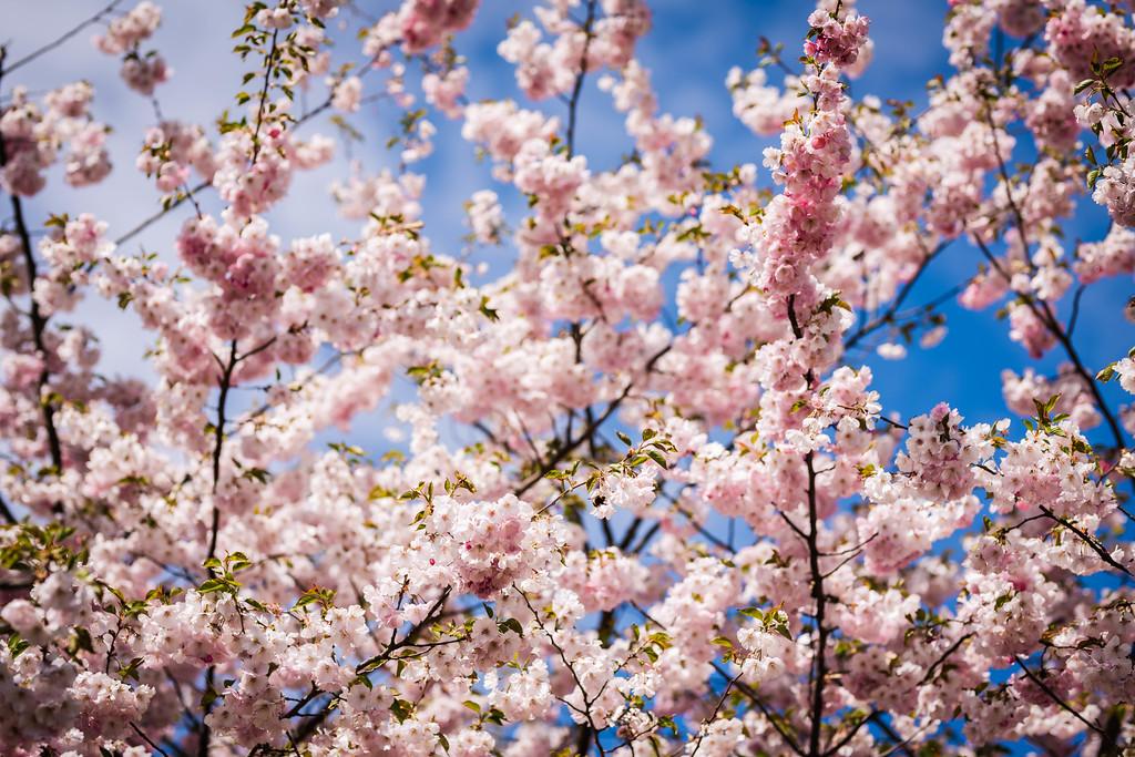 Sakura Blossoms Bloom Spring