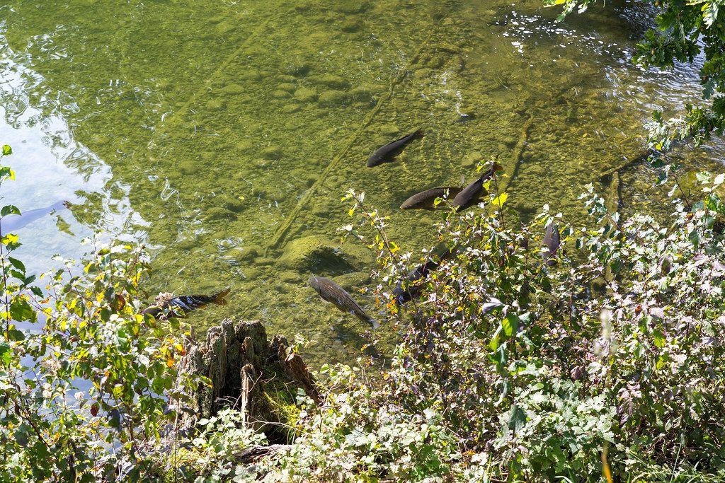 Schwarze Fische im Wasser vom kleinen Buchsee in Tirol, Österreich
