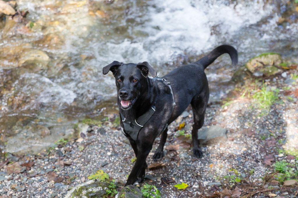 Schwarzer Hund neben dem fließenden Bach während einer Wanderung in Alpbach, Österreich
