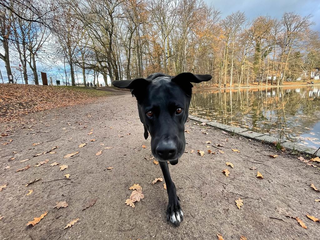 Schwarzer Hund schaut in die Kamera, Laub liegt auf dem Boden und im Wasser an einem Spätherbsttag