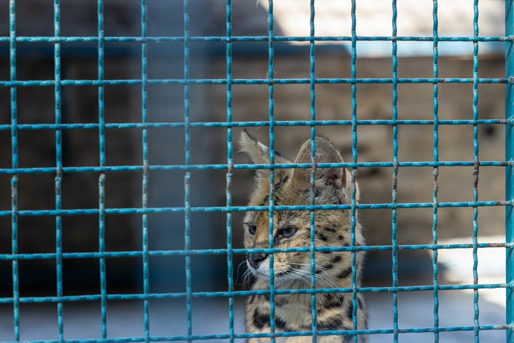 Serval in the cage at the Belgrade Zoo