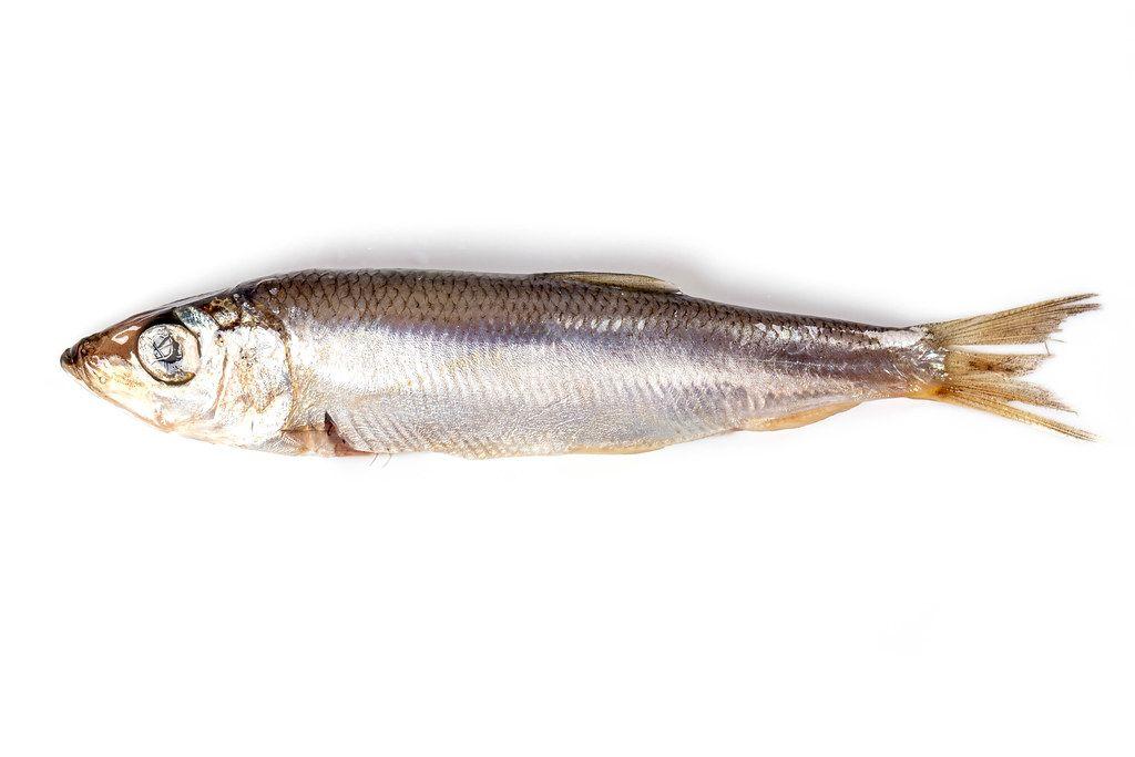 Sprat fish on white background