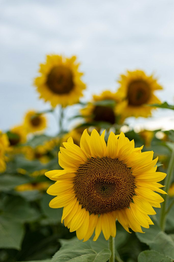 Sunflower heads closeup in the agriculture fields