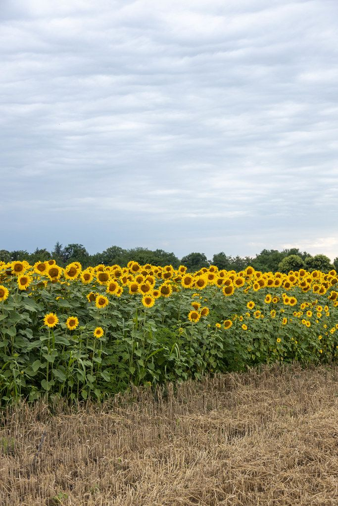 Sunflowers in the field with copy space on the blue sky