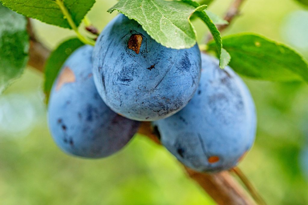 Three blue plums grow on a tree